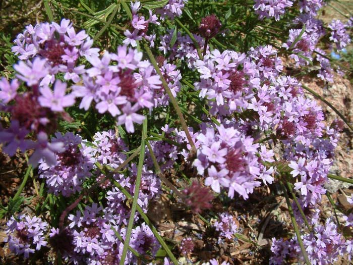 Plant photo of: Verbena lilacina 'De La Mina'