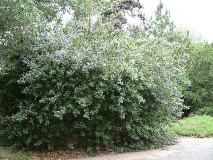 Plant photo of: Ceanothus 'Joyce Coulter'