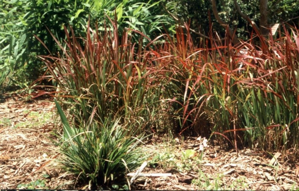 Ornamental grasses clumping plants for Ornamental grass with red flowers