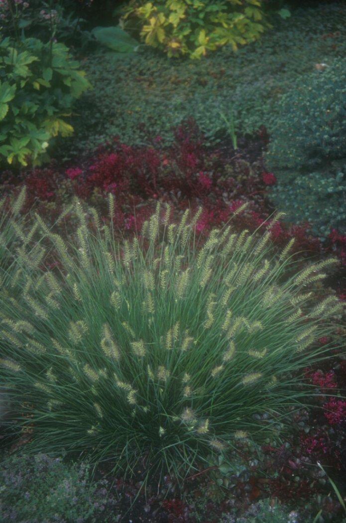ornamental grasses clumping plants. Black Bedroom Furniture Sets. Home Design Ideas
