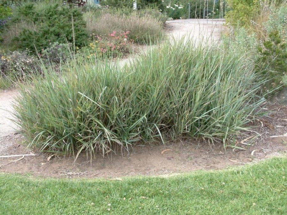 Ornamental grasses clumping plants for Wild ornamental grasses