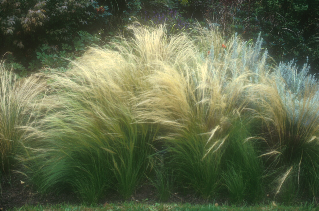 Color and texture for Names of ornamental grasses