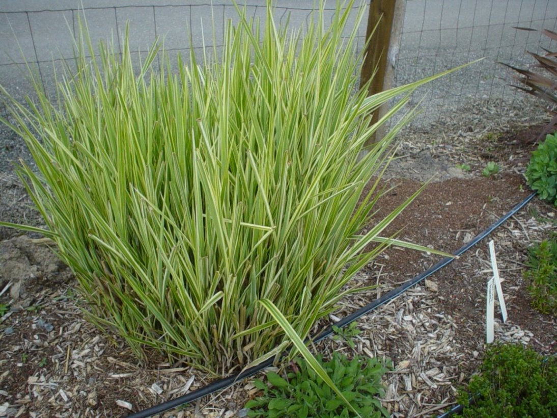 ornamental grasses clumping plants