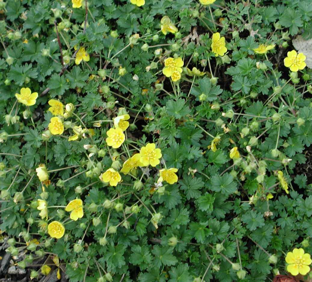 Lawn substitutes ground cover potentilla mightylinksfo