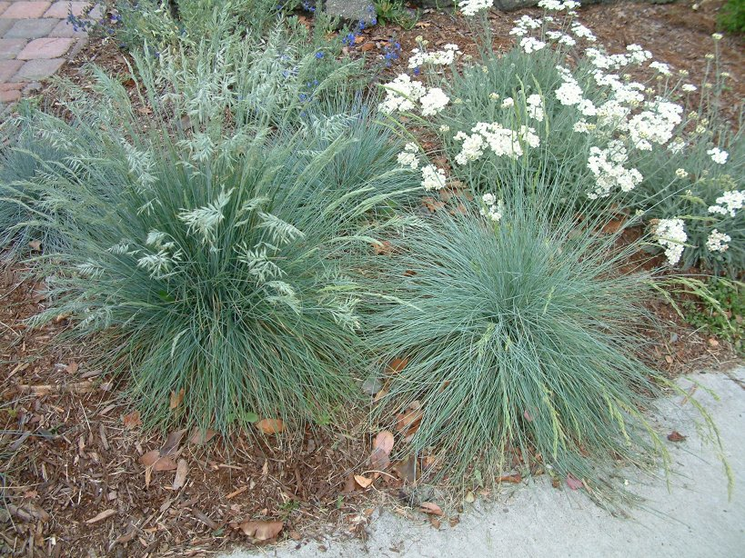 Ornamental grasses clumping plants for Blue ornamental grass plants