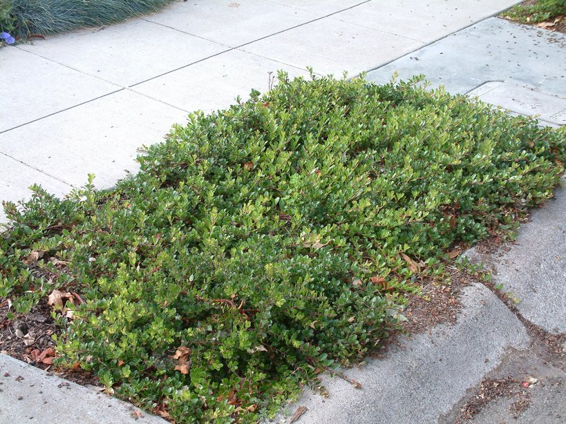 Bearberry Bush